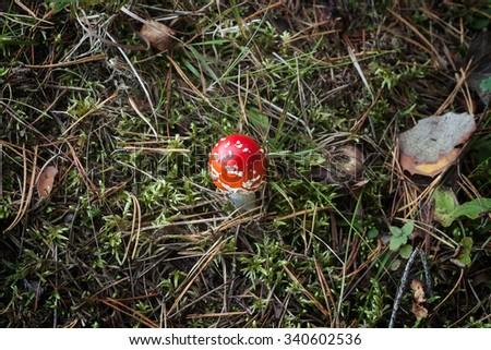 Red small mushrooms (Amanita) - stock photo
