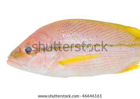 Red Snapper Fish Isolation