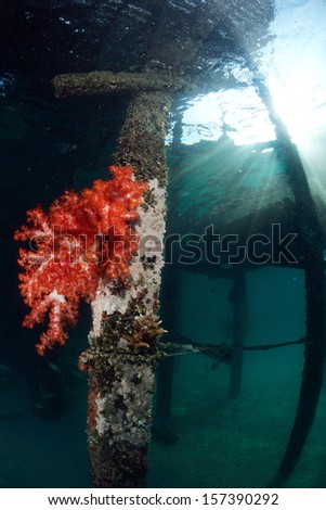 red soft coral at dive center in Mabul, Sipadan, Malaysia - stock photo