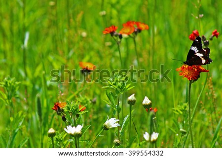 Red-spotted admiral butterfly in a meadow of daisies and orange hawkweed - stock photo