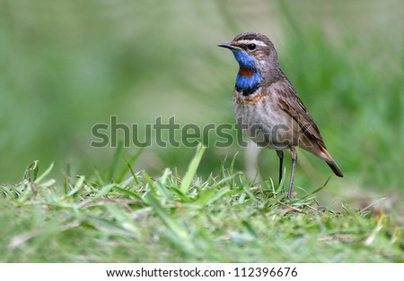 Red spotted Bluethroat (Luscinia svecica) taken at Girdleness, Aberdeenshire, Scotland. During spring migration.