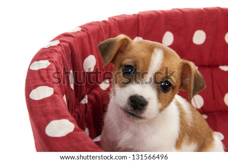 Red spotted pet bed with little Jack Russel puppy - stock photo