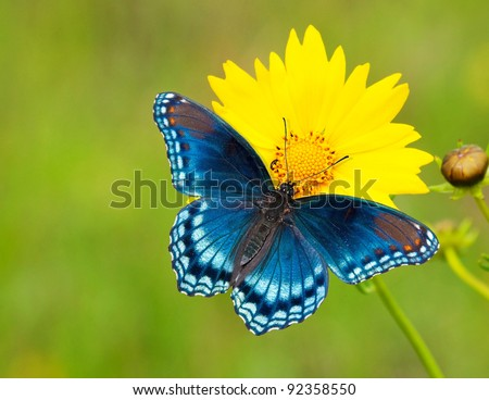 Red-spotted purple admiral butterfly on a yellow coreopsis flower against green background - stock photo