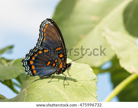 Red Spotted Purple Admiral butterfly resting on a sunflower leaf