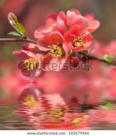 Red spring flowers and water reflection. Blossoming Chaenomeles (flowering quince, Japanese quince) - stock photo