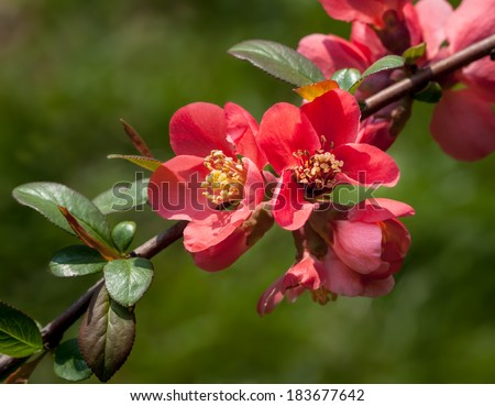 Red spring flowers. Blossoming Chaenomeles (flowering quince, Japanese quince)