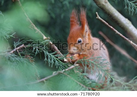 Red Squirel - stock photo