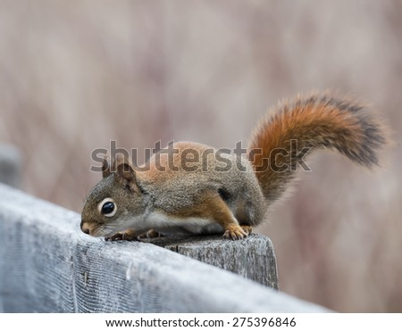 Red Squirre - stock photo