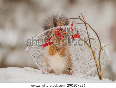 red squirrel behind ice standing in snow