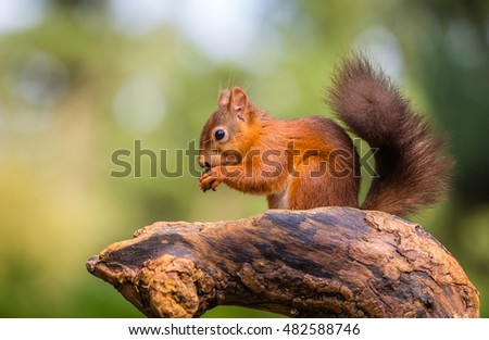 Red squirrel, County of Northumberland, England