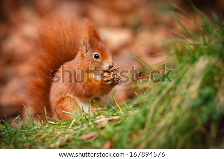 Red squirrel eating an acorn in the grass - stock photo