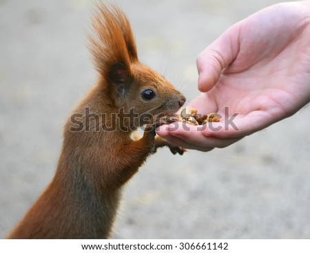 Red squirrel eating from hand in park - stock photo