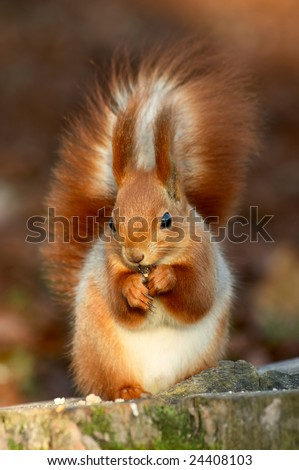 red squirrel eating on a tree stub