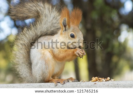 red squirrel eats a nut - stock photo