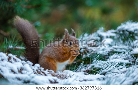 Red squirrel feeding in Woodland, County of Northumberland, England - stock photo