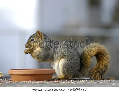 Red squirrel having a meal of bird seed with copy space and shallow depth of field - stock photo