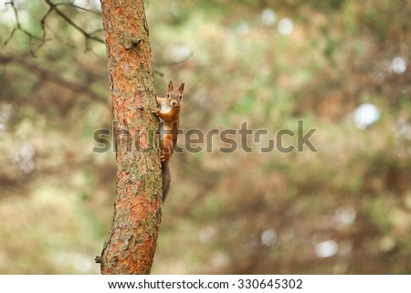 Red squirrel in autumn park - stock photo