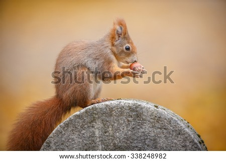 Red squirrel in city center park