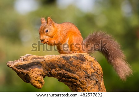 Red squirrel in forest, County of Northumberland, England