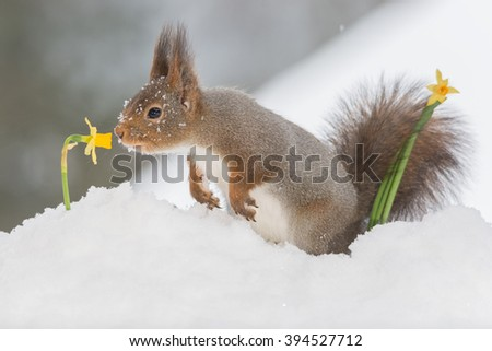red squirrel in snow with daffodil - stock photo
