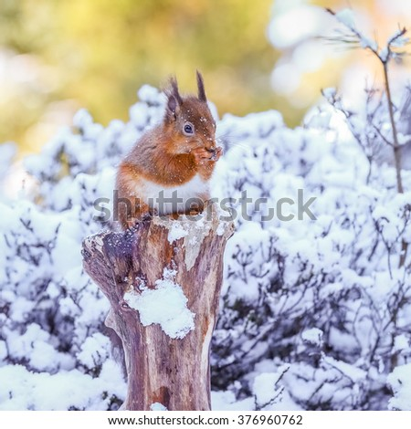 Red squirrel in Winter, County of Northumberland ,England - stock photo