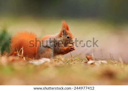 Red squirrel is eating nut - stock photo