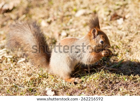 Red squirrel keeps paws nut - stock photo