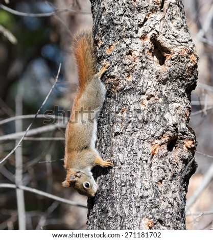 Red Squirrel Leaking Sap in Spring - stock photo