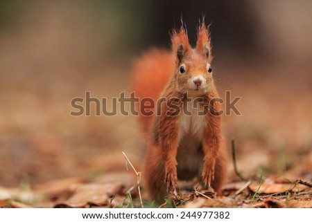 Red squirrel look to us - stock photo
