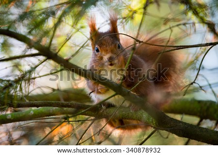 Red squirrel looking between the branches of yew tree - stock photo