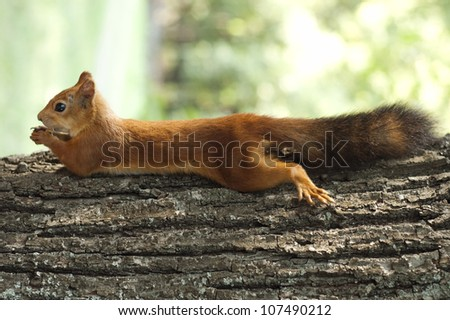 Red squirrel lying on the tree - stock photo