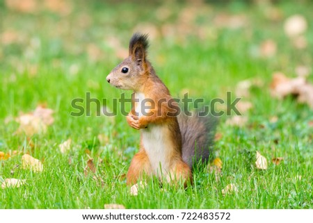 red squirrel on a branch in summer, Sciurus, park, Tamiasciurus