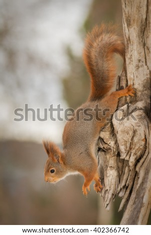 red squirrel on a tree trunk hanging down - stock photo