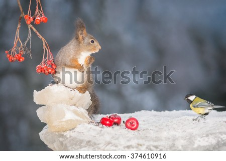 red squirrel on ice with branches and berries with titmouse blurry in background - stock photo