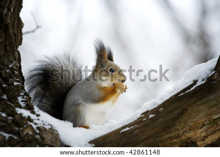 Red squirrel on the snow - stock photo