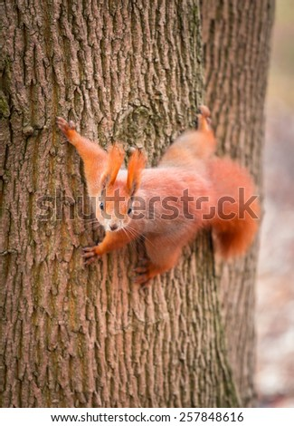 Red squirrel on the tree in the park - stock photo