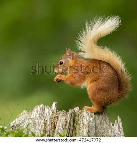 Red squirrel perched on a tree stump eating a nut with a green background.