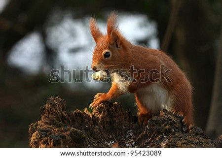 Red Squirrel Sciurus vulgaris - stock photo