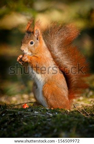Red squirrel, Sciurus vulgaris, opening a hazelnut on the mossy forest floor