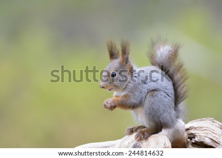 Red Squirrel (Sciurus vulgaris) sitting on a wooden log.