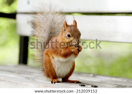 Red squirrel, Sciurus vulgaris, sitting on the bench and holding a seed - stock photo