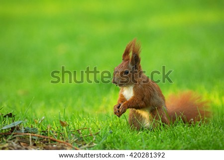 Red Squirrel (Sciurus vulgaris) sitting on the grass and eats sunflower seeds. The view from the left side. Spring in Poland, May. Horizontal view.