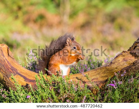 Red squirrel sitting in forest, Northumberland, England