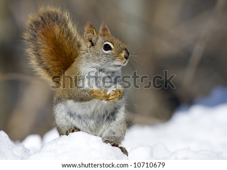 Red squirrel sitting in the snow - stock photo