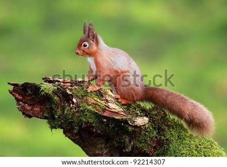 Red Squirrel sitting on a moss covered tree stump - stock photo
