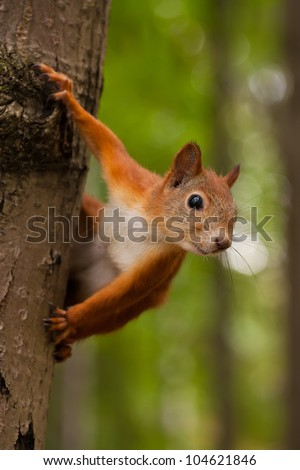 Red squirrel sitting on a tree in forest - stock photo