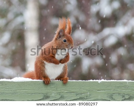 Red squirrel sitting on green fence while it's snowing - stock photo
