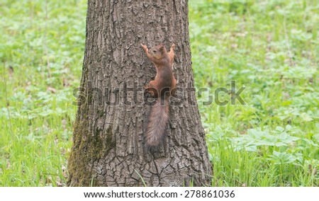 Red squirrel sitting on the tree in forest - stock photo