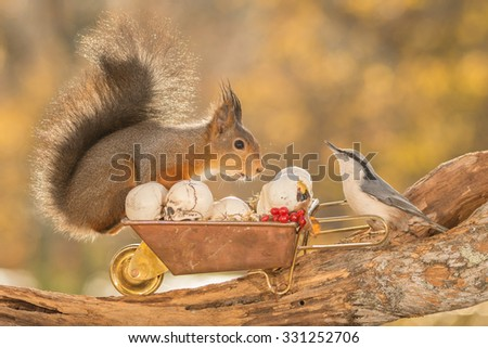 red squirrel standing on  a tree trunk with wheelbarrow, nuthatch and skulls  - stock photo
