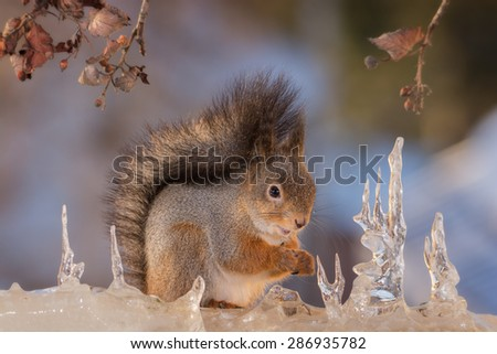red squirrel standing on ice with branch and leaves - stock photo